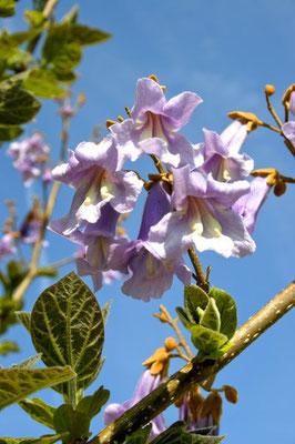 Paulownia Blüte, Blauglockenbaum Blüte