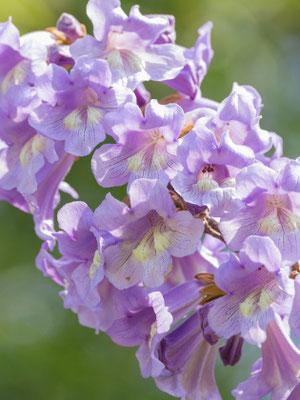Blüte Blauglockenbaum