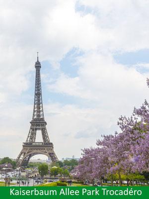 Blauglockenbaum - Paulownia tomentosa in Blüte im Park Trocedro Paris