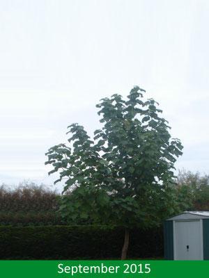 Blauglockenbaum - Paulownia tomentosa im Sommer 2015