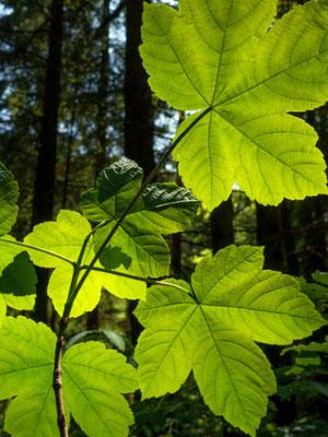 Bergahorn Blätter