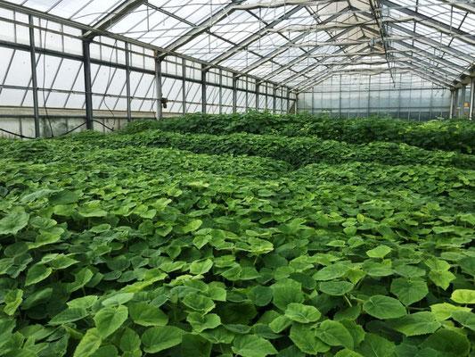 Paulownia ShanTong Pflanzen für die kommende Saison