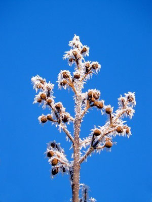 Eingefrorene Paulownia Samenkapsel