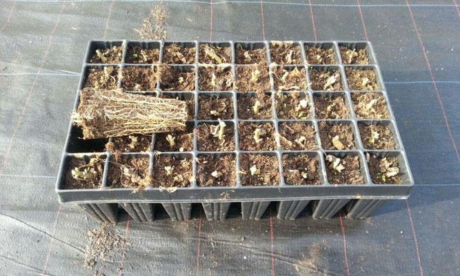 2 jährige Paulownia Shan Tong Pflanzen, zurückgeschnitten