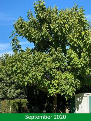 Blauglockenbaum - Paulownia tomentosa im Sommer 2020
