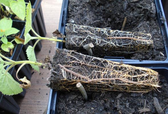 2 jährige Paulownia Jungpflanze kurz nach dem Neuaustrieb