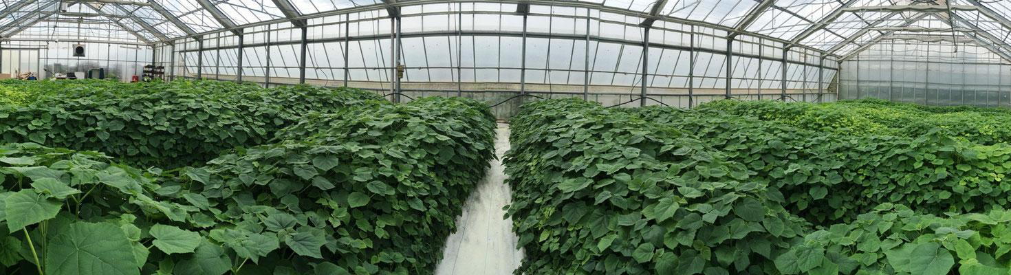 70.000 Paulownia Shan Tong Pflanzen