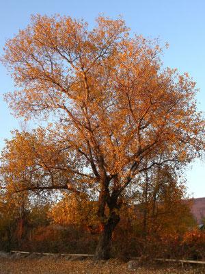 Bergahorn Baum