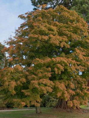 Fächerahorn - Baum