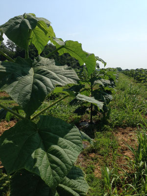 3 Monate alte Paulownia nach Pflanzung