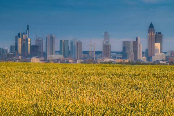 Frankfurter Skyline mit gelben Kornfeld und blauem Himmel