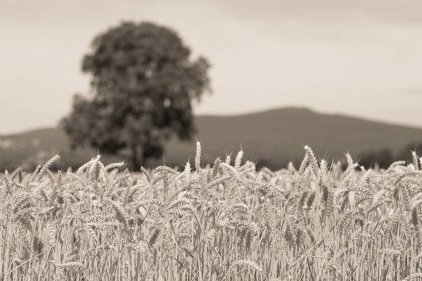 Walnussbaum im Kornfeld und der Berg Altkoenig