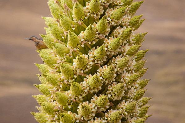 Peru: Eine Puya Raimondii in voller Blüte mit Vogel