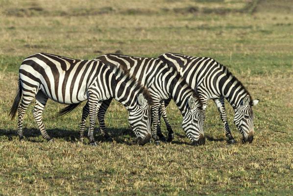 Burchell's Zebra ( Equus burchelli), Masai Mara, Kenya