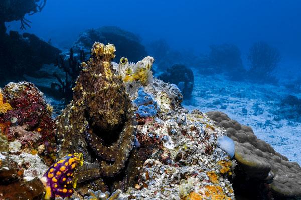 Reef Octopus (Octopus cyanea), Raja Ampat, Indonesia