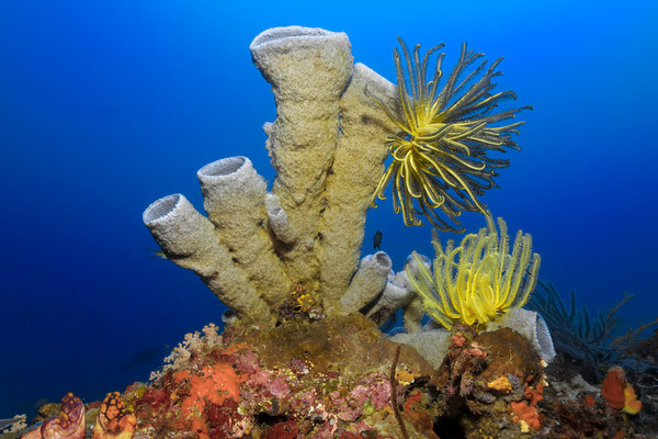 Tube sponge with feather stars, Raja Ampat, Indonesia