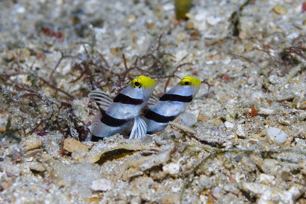 Yellow Nose Shrimpgobies (Stonogobiops xanthorhinica), North Sulawesi, Indonesia