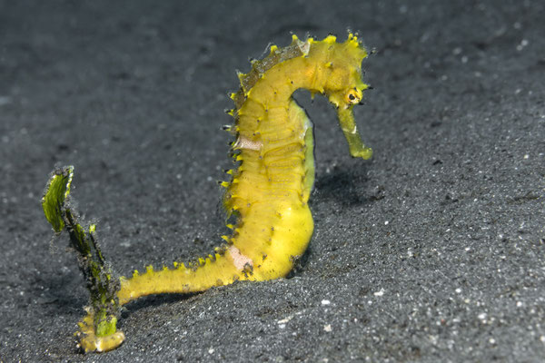 Thorny Seahorse (Hippocampus histrix), North Sulawesi, Indonesia