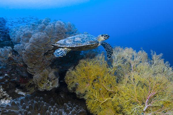 Hawksbill Turtle (Eretmochelys imbricata), Raja Ampat, Indonesia