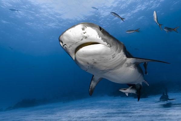 Tiger Shark ( Galeocerdo cuvier), Bahamas
