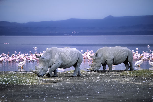 White Rhinoceros (Ceratotherium simum), Lake Nakuru, Kenya