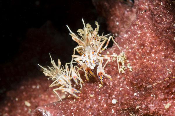 Tiger Shrimp (Phyllognathia ceratophthalma), Lembeh Strait, Indonesia