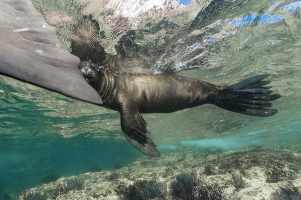California Sea Lion (Zalophus californianus), Los Islotes, Mexico