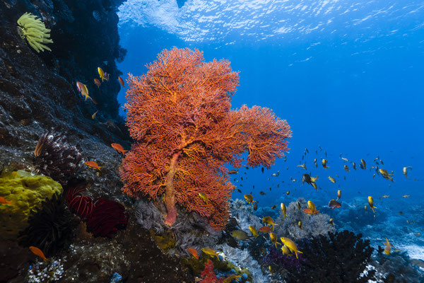 Sea Fan, Raja Ampat, Indonesia