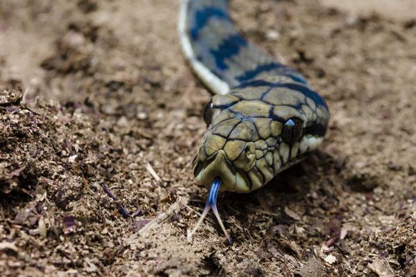 Python, Raja Ampat, Indonesia