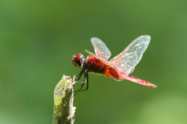 Red Dragonfly, North Sulawesi, Indonesia