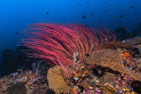Whip Coral, Raja Ampat, Indonesia