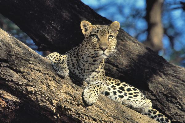 Leopard (Panthera pardus), Samburu, Kenya