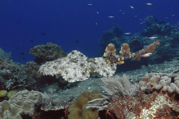 Wobbegong Shark (Eucrossorhinus dasypogon), Raja Ampat, Indonesia