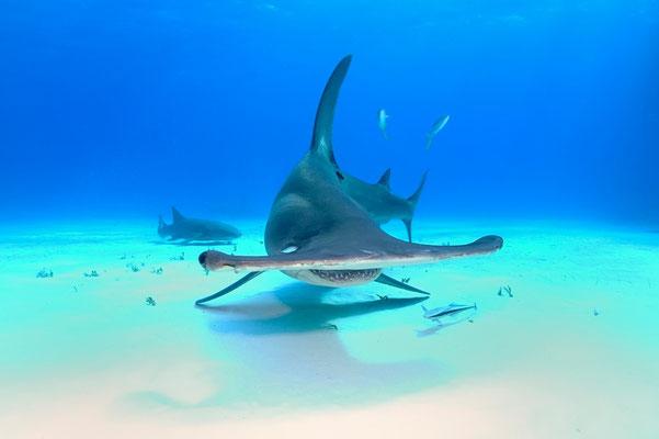 Great Hammerhead Shark ((Sphyrna mokkaran)