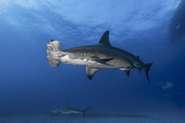Great Hammerhead Shark (Sphyrna mokarran), Bahamas