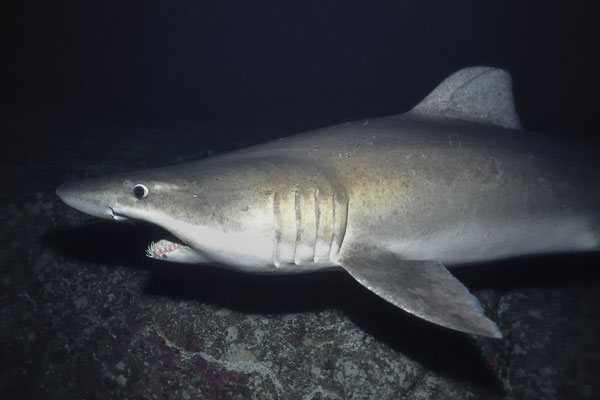 Smalltooth Sand Tiger Shark (Odontaspis ferox), Malpelo Island, Columbia