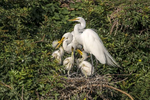 Great Egret (Ardea alba), Florida,USA
