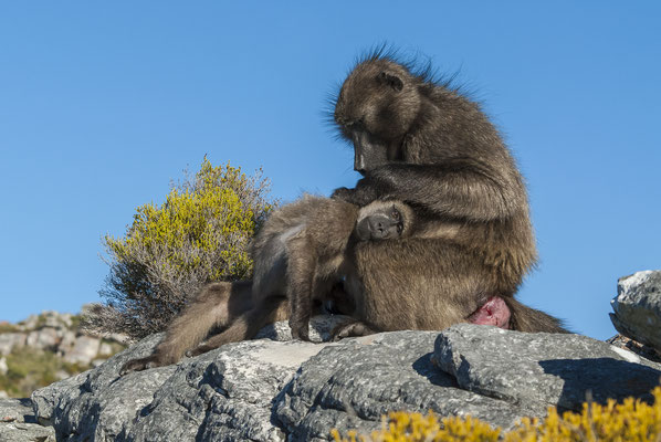 Chacma Baboons (Papio ursinus), South Africa