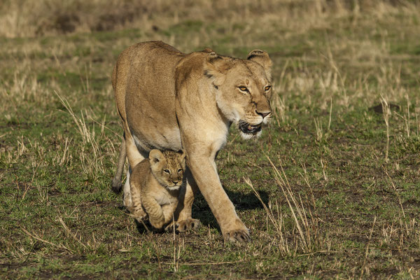 Lion (Panthera leo) with cub, Masai Mara, Kenya