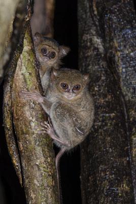 Tarsier Monkey (Tarsius tarsier), North Sulawesi, Indonesia