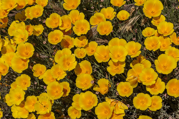 California Poppy (Eschscholzia californica), Califonia