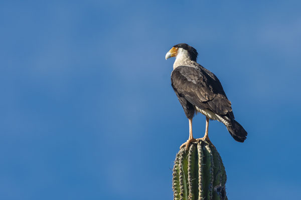 Caracara (Caracara cheriway), Baja California, Mexico