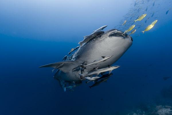 Whale Shark (Rhincodon typus), Raja Ampat, Indonesia