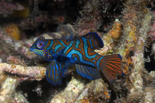 Mandarinfish (Synchiropus splendidus), Lembeh Strait, Indonesia