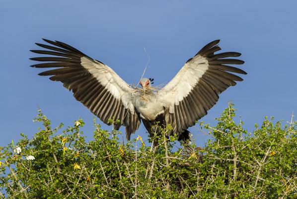 Secretary Bird (Sagittarius serpentarius), Masai Mara, Kenya