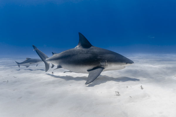 Bull Shark (Carcharhinus leucas), Bahamas