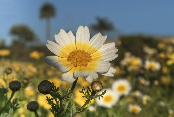 Tidytip (Layia platyglossa), California, USA