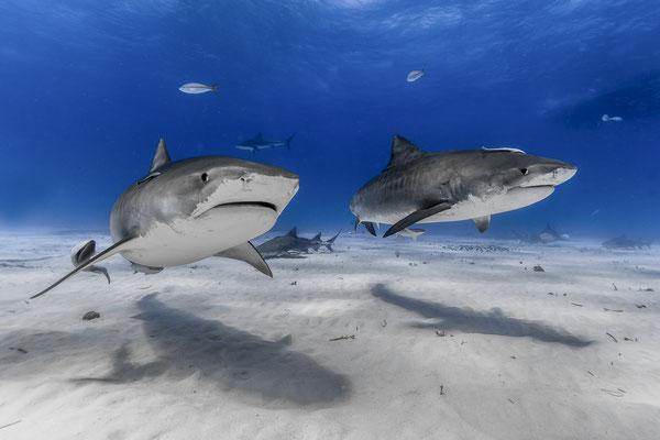 Tiger Sharks ( Galeocerdo cuvier), Bahamas