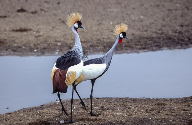 East African Crowned Crane (Balearica regulorum gibbericeps), Masai Mara, Kenya