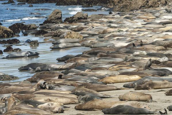 Elephant Seals (Mirounga angustirostris), San Simeon, California